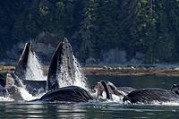 Bubble feeding Bubble net feeding  Humpback whale  Megaptera novaeangliae  Order: Cetacea Suborder: Mysticeti Family: Balaenopteridae.