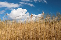 Top reed against the blue sky and white clouds