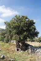 Old olive tree, Crete, Greece