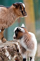 Cute baby goats at Munich's children's zoo
