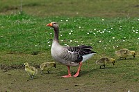 Greylag goose Anser anser adult with goslings in spring, Germany