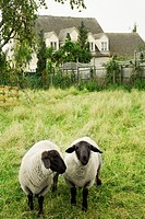 Sheep in backyard, Cotswolds, United Kingdom