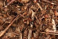 Red wood ant Formica rufa / Southern wood ant Formica rufa