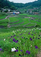 Iris and Terraced Field of Ini, Akiota, Hiroshima, Japan