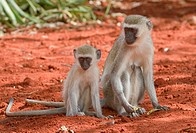 Female vervet monkey (Chlorocebus pygerythrus) with young, Tsavo National Park, Kenya, Africa