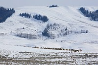 A herd of elk moves through an elk feed ground in the mountains.