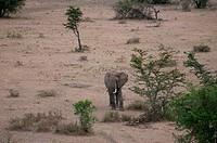 Africa, Kenya, Masai Mara, African Elephant Loxodonta africana in savannah