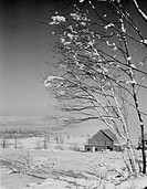 USA, New Hampshire, Lancaster, birches with heavy snow and fog, barn in background
