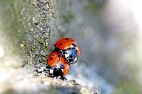 Mating seven-spotted ladybirds on cherry (Coccinella septempunctata) (thumbnail)