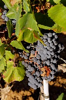 Bunches of black grapes Frascati Castelli Romani Rome Italy