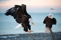 Close_up of Bald eagles Haliaeetus leucocephalus landing on branch