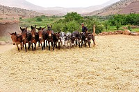 Young man driving horses and donkeys tethered to a stake in a circle over harvested grain to separate the grain from the ears, High Atlas, Morocco, Af...