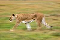 Lioness in motion, Panthera leo, Masai Mara, Kenya