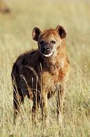Kenya, Masai Mara Game Reserve. Spotted Hyena Crocuta crocuta