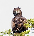 Kenya. Martial eagle perched on tree limb. Credit: Joanne Williams / Jaynes Gallery / DanitaDelimont.com