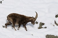 Alpine ibex (Capra ibex) in winter, Gran Paradiso National Park, Italy, Europe,