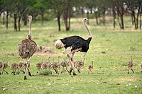 Male and female Ostrich with flock of young, Struthio camelus, Serengeti National Park, Tanzania