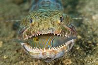 Voracious lizardfish predator swallowing triggerfish, Lembeh Strait, Sulawesi Island, Indonesia