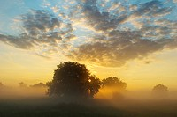 Solitary oak trees in the sunrise on the Elbe meadows, Biosphaerenreservat Mittlere Elbe biosphere reserve in Dessau, Saxony-Anhalt, Germany, Europe