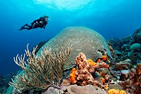 Diver hovering above a coral reef, looking at a Symmetric brain coral (Diploria strigosa), Little Tobago, Speyside, Trinidad and Tobago, Lesser Antill...