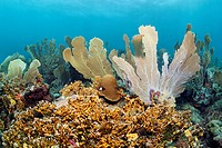 Coral reef, Venus sea fans Gorgonia flabellum, Branched fire coral Millepora alcicornis, yellow, Little Tobago, Speyside, Trinidad and Tobago, Leeward...