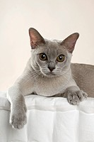 Lying lilac_colored Burmese cat