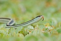 Gulf Coast Ribbon Snake (Thamnophis proximus orarius), adult on water lettuce, Fennessey Ranch, Refugio, Corpus Christi, Coastal Bend, Texas Coast, US...