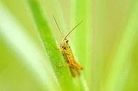 Green Leek Grasshopper (Mecostethus parapleurus)