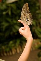 Ecuador, Mindo. Mindo Butterfly Farm. Caligos butterfly on a boy ´s finger.