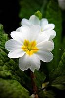 white primula