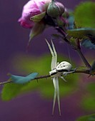 USA, Oregon, Multnomah County. Crab spider on stem of wild rose. Credit: Steve Terrill / Jaynes Gallery / DanitaDelimont.com