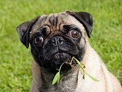 Pug: breed of dog