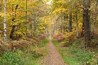 Track in an autumnal forest, Mecklenburg_Western Pomerania, Germany, Europe