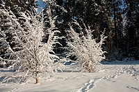 Snow-covered trees at Manito Park, Spokane, Washington, USA