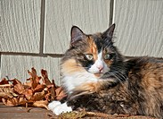 This pet cat is laying down outdoors on a porch with siding in the background and autumn leaves She is a long haired calico feline with striking green...