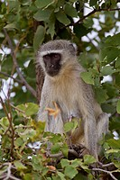 Vervet monkey (chlorocebus pygerythrus) in the bush, Kruger National Park, South Africa