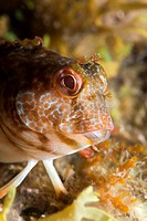 Portrait of Variable Blenny, Parablennius pilicornis, Cap de Creus, Costa Brava, Spain