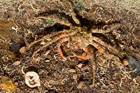Majoid Crab well camouflaged, Herbstia condyliata, Cap de Creus, Costa Brava, Spain