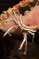 Spider Crab, Majidae, Alam Batu, Bali, Indonesia