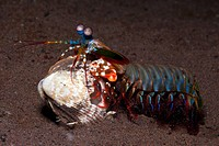 Mantis Shrimp cracking captured Clam, Odontodactylus scyllarus, Seraya, Bali, Indonesia