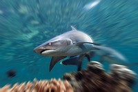 Whitetip Reef Shark, Triaenodon obesus, Beqa Lagoon, Viti Levu, Fiji