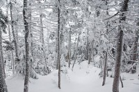 Snow covered forest along the Hancock Loop Trail in the White Mountains, New Hampshire, USA, during the winter months