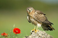 Montagu´s Harrier  Adult female Circus pygargus  Order: : Falconiformes or Accipitriformes Family: Accipitridae.