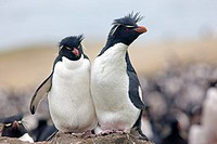 Falkland Islands , Pebble island , Rockhopper penguin  Eudyptes chrysocome chrysocome.