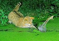 EUROPEAN WILDCAT felis silvestris, ADULT HUNTING GREEN FROG rana esculenta