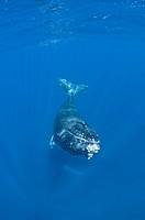Humpback Whale Calf, Megaptera novaeangliae, Caribbean Sea, Dominican Republic