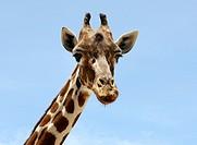 Giraffe (Giraffa camelopardalis), portrait