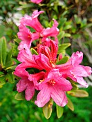 pink Rododendron shrub