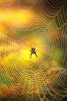 Detail of spider in spider web