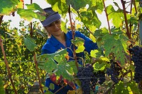 Grape harvest near Barolo, Langhe, Piedmont, Italy
